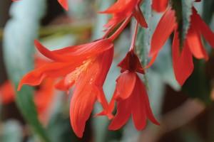 Jardin familial - Begonia santa cruz