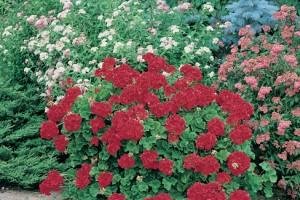 Jardin familial - Geranium jardin rouge
