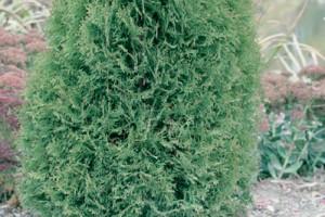 Thuja occidentalis Boisbriand