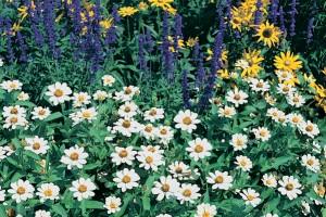 Zinnia Profusion White und Salvia farinacea Victoria im Hintergrund