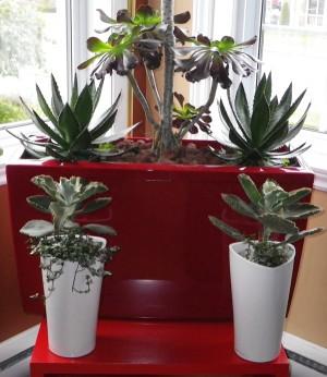 Cactus fleuris-coin-lumineux