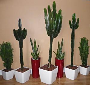 Cactus-fleuris-pots
