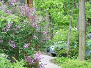 pepiniere-auclair-lilas