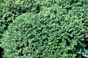 Buxus sempervirens Glencoe 'Chicagoland Green' ®