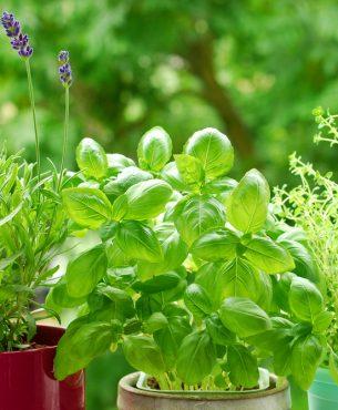 Cinq fines herbes à cacher parmi les vivaces