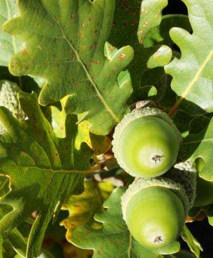 Arbres à noix : quelques conseils d'entretien