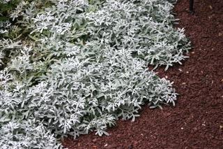 plante couvre-sol facile