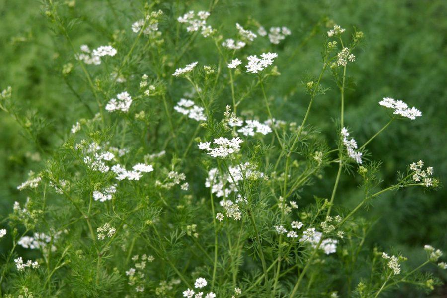 Fines herbes annuelles