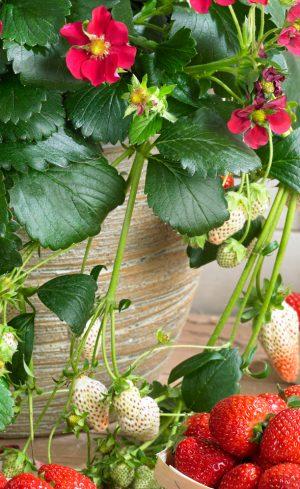 Petits fruits en pot