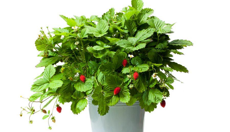 Cultiver des petits fruits en pot - Fraisier plante en pot ...