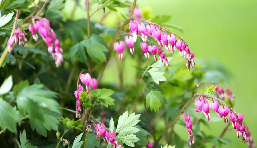Dicentra en bouquet de fleurs