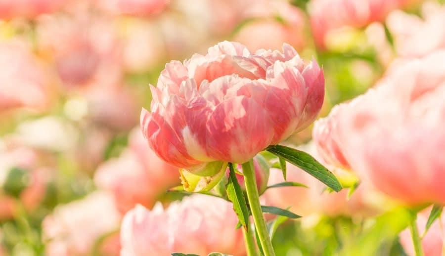 Pivoine en bouquet de fleurs