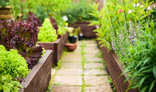Des salades décoratives dans vos plates-bandes