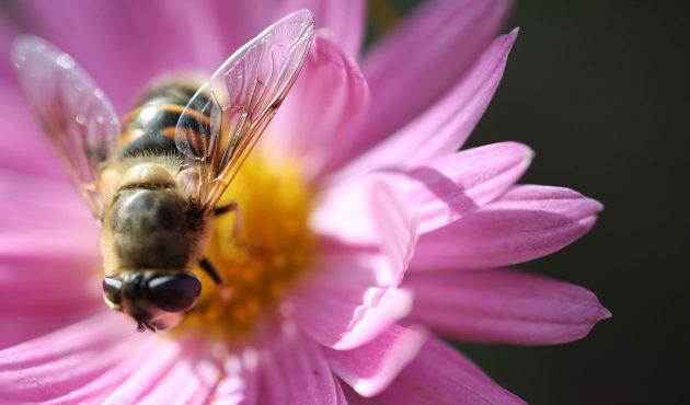 Fleurs à planter pour attirer les abeilles