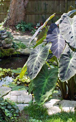 Trois plantes tropicales qui se transportent bien sur la terrasse
