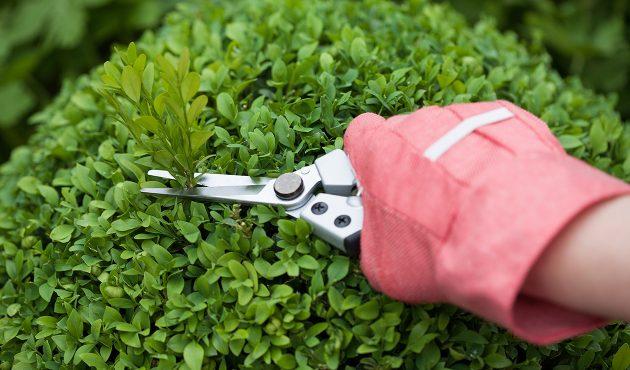 Tailler ses arbustes, quand et comment?