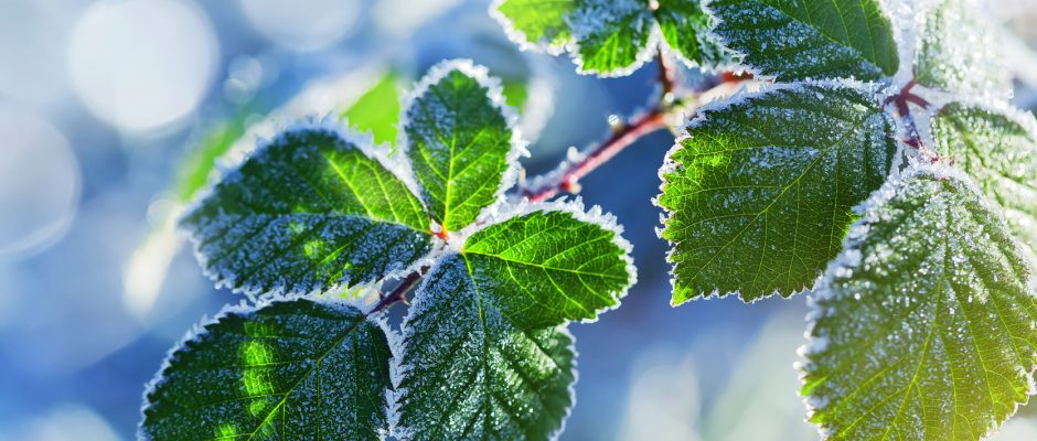 Arbustes fruitiers en pot : comment les protéger l'hiver