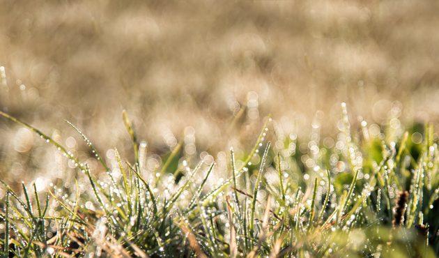 lutter contre les vers blancs dans la pelouse