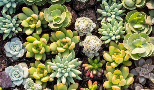 Dehors, les succulentes !