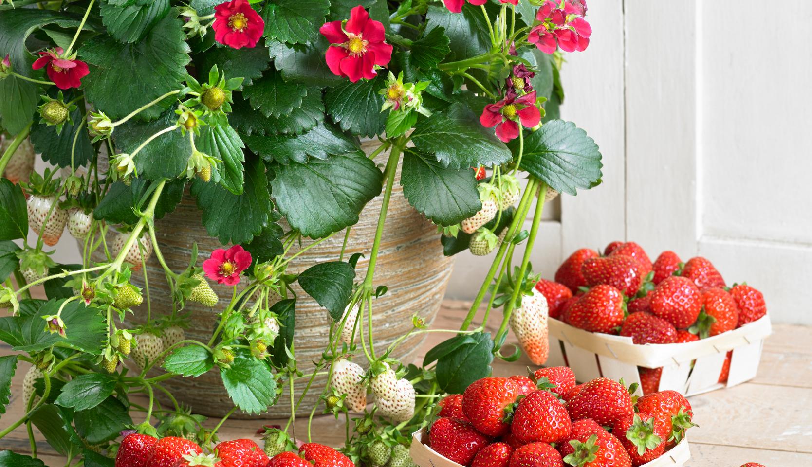Quoi Planter En Octobre petits fruits en pot – du jardin dans ma vie