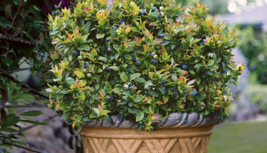 Cultiver des bleuets en pot