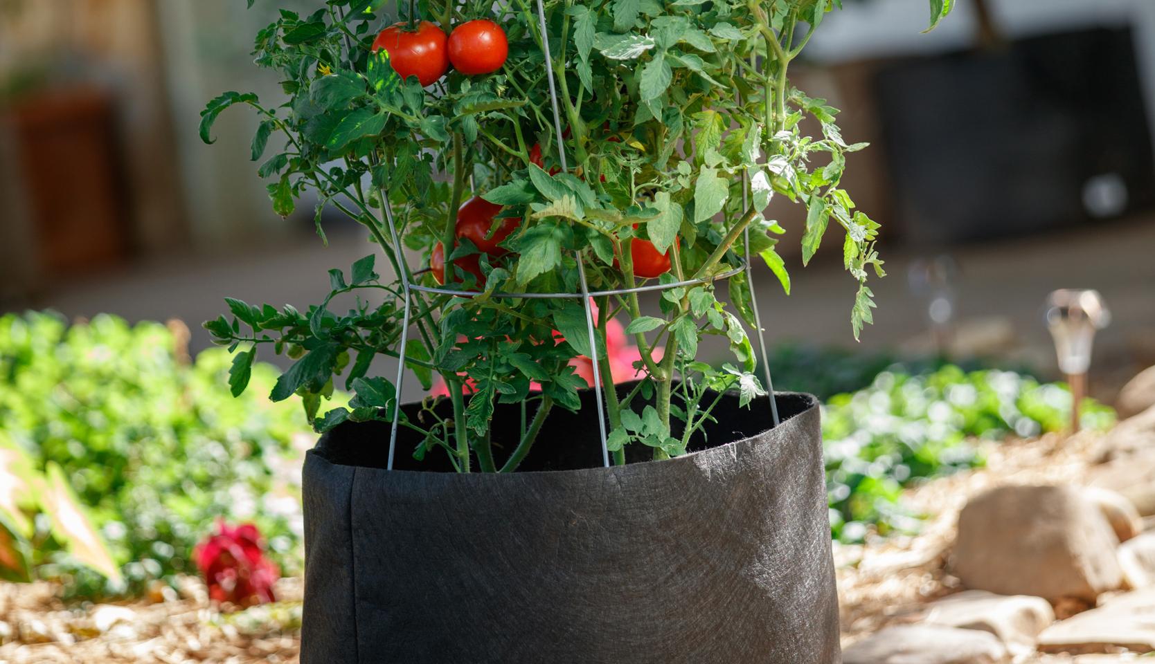 Tomate En Pot Conseil autour du pot – du jardin dans ma vie