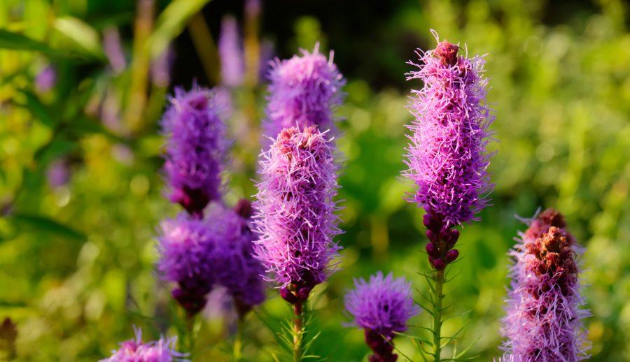 Liatride en bouquet de fleurs