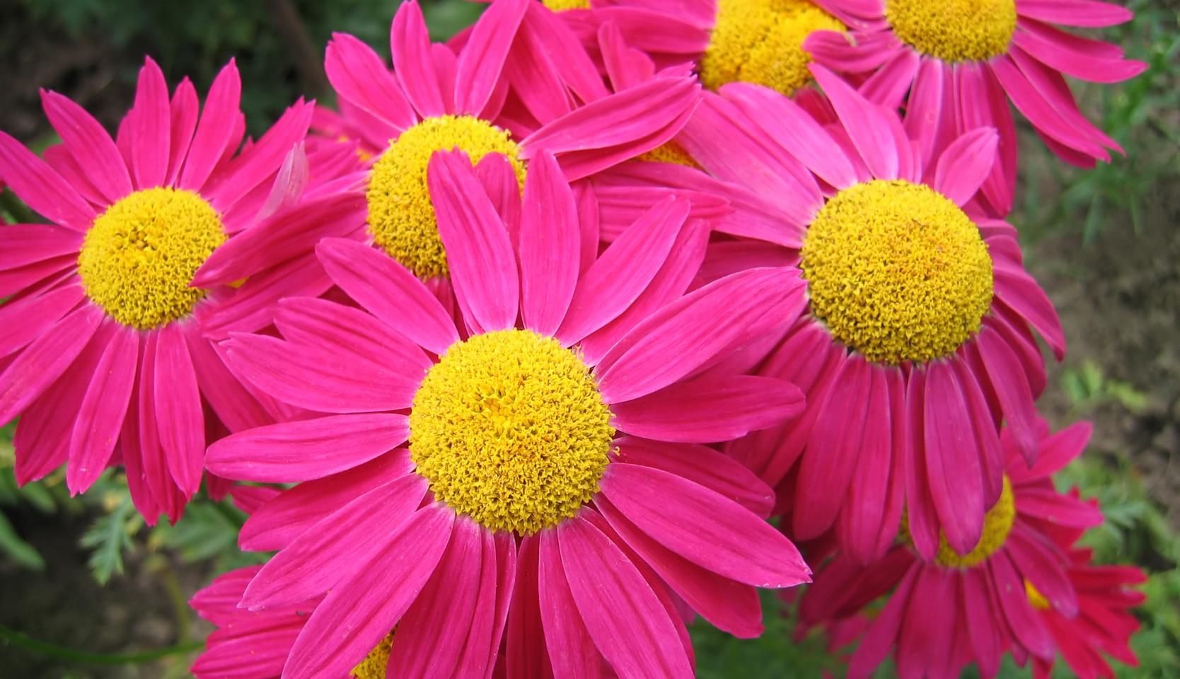 marguerites en bouquet de fleurs