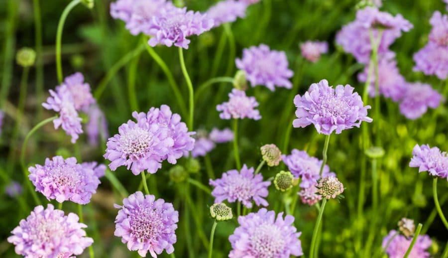 Scabieuse en bouquet de fleurs
