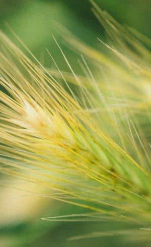 Faire pousser ses propres céréales au jardin