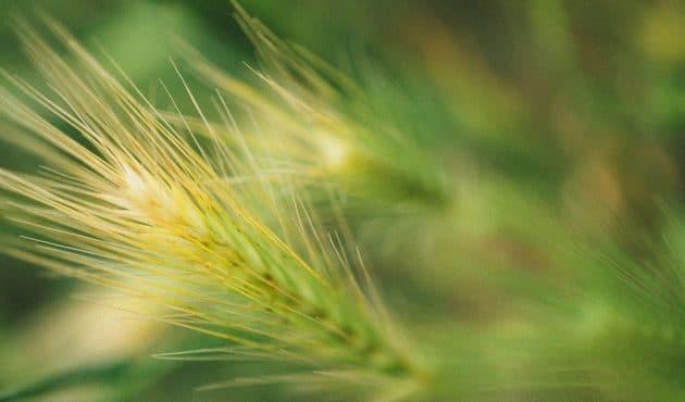 Faire pousser des céréales au jardin