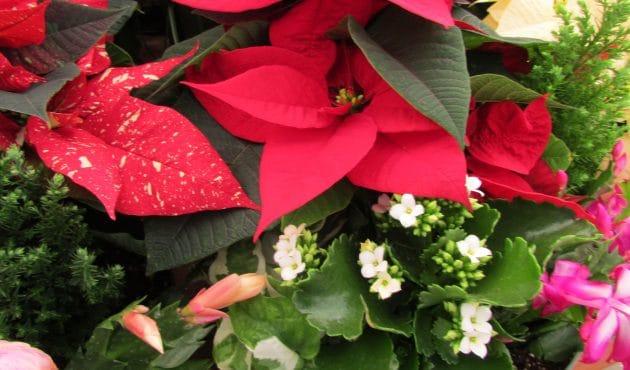 Les plus belles plantes de Noël