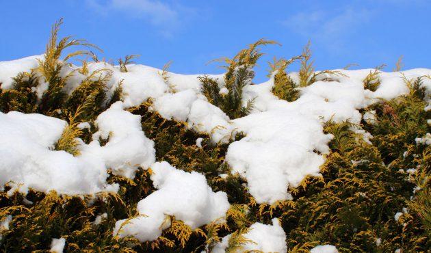 Comment protéger sa haie de cèdres l'hiver?