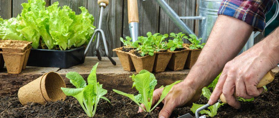 Comment repiquer ses semis de légumes au potager
