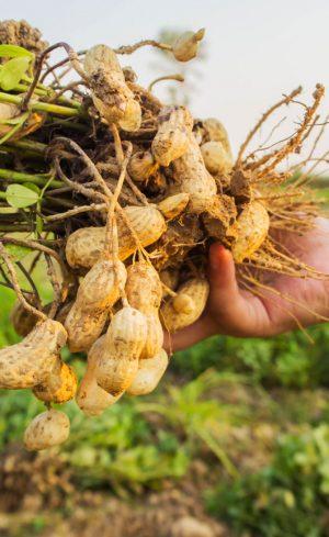 Comment faire pousser des arachides au potager