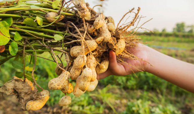 Comment faire pousser des arachides
