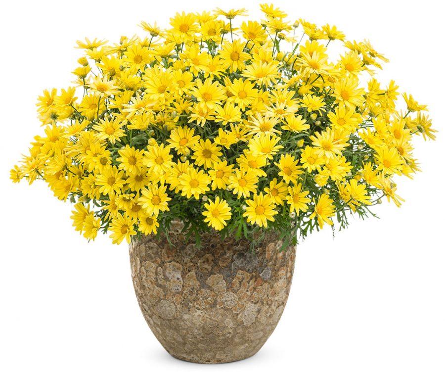 Plante annuelle Golden Butterfly Argyranthemum