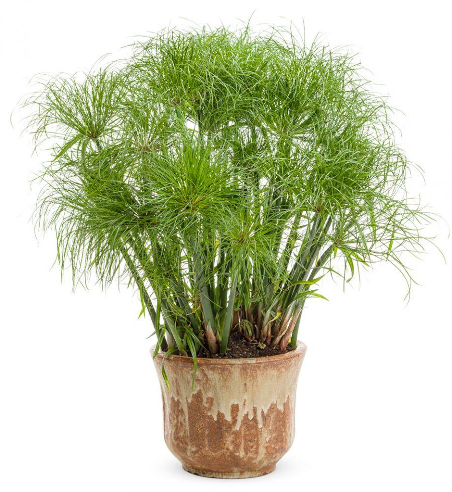 Plante annuelle Gracefu Grasses Prince Tut Cyperus