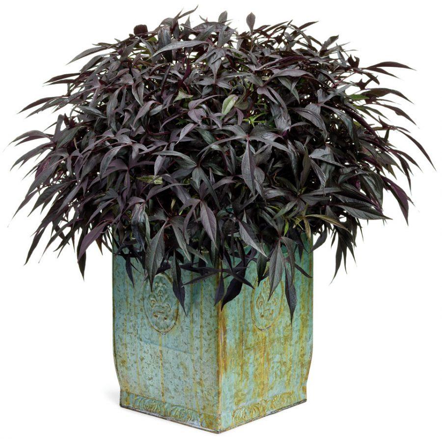 Plante annuelle Illusion Midnight Lace Ipomoea