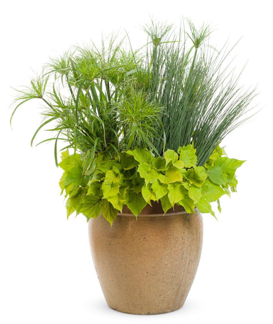 Plantes annuelles Kiwi Recipe