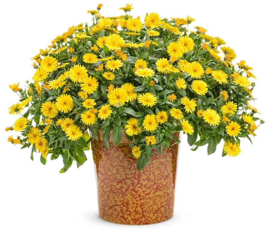 Plante annuelle Lady Godiva Yellow Calendula