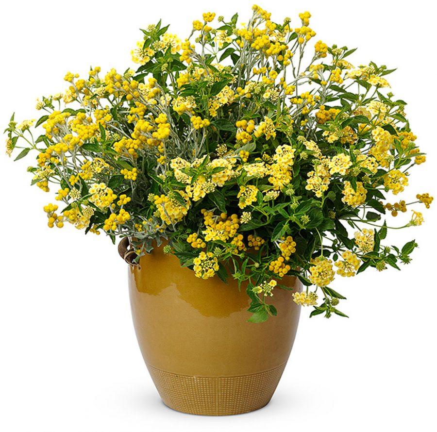Plantes annuelles Lemonade recipe