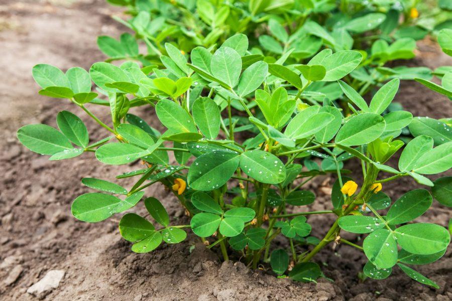 Planter des arachides