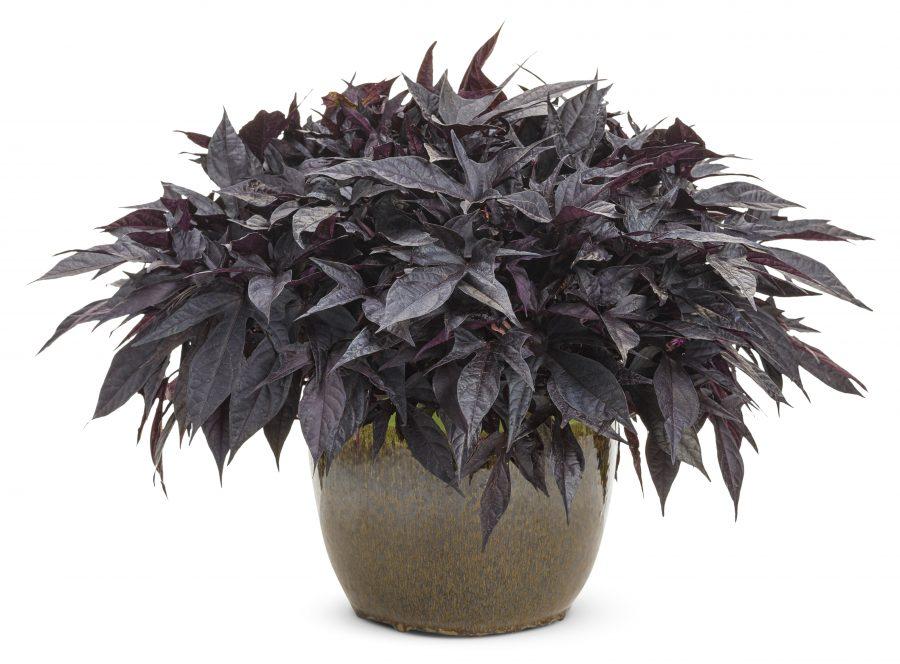 Plante annuelle Sweet Caroline Raven Ipomoea