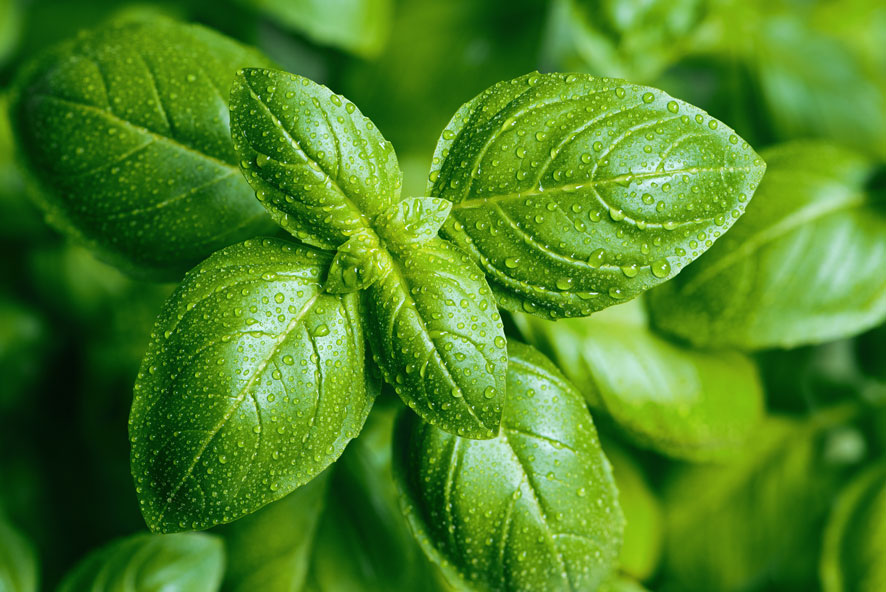 Top 10 des fines herbes : Basilic