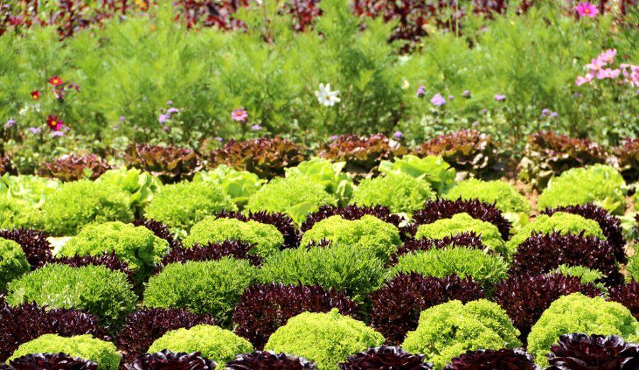 Legumes et fleurs pour le potager