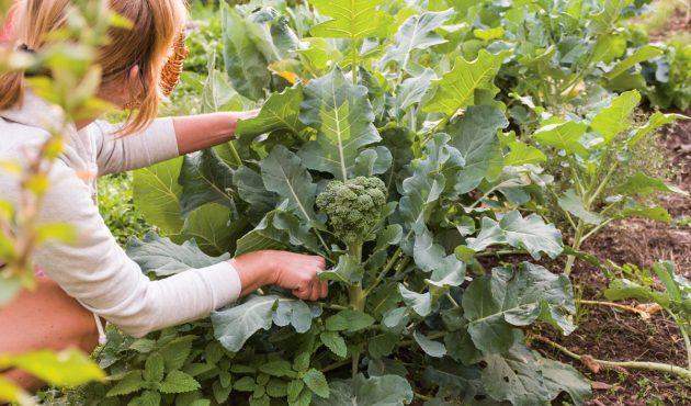 Cultiver des protéines végétales dans son jardin