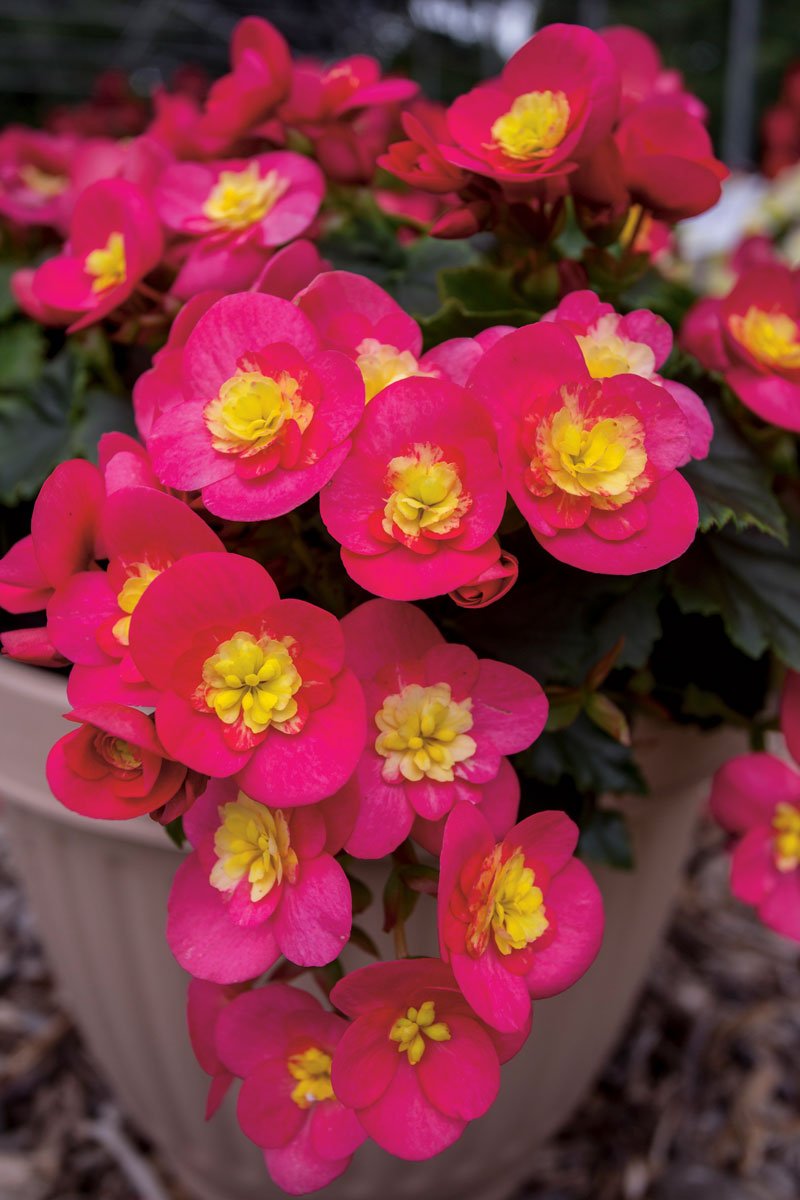 Plante d'ombre Begonia