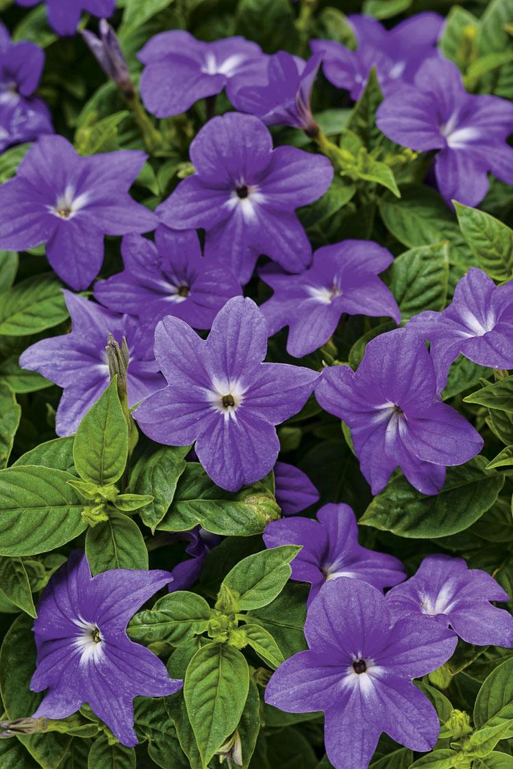 Plante ombre Browallia