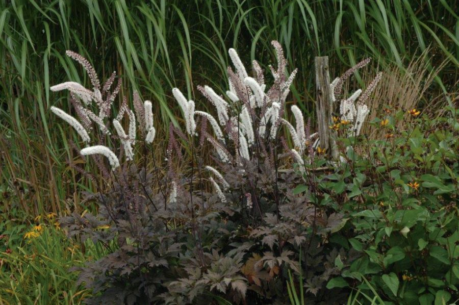 Plante ombre cierge argent